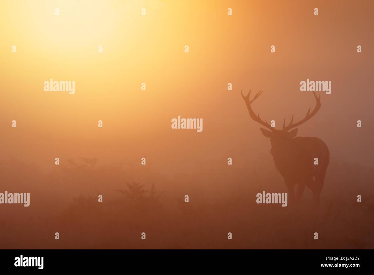 Red Deer rut (Cervus elaphus) stag roaming on a golden misty foggy morning mist or fog - Stock Image