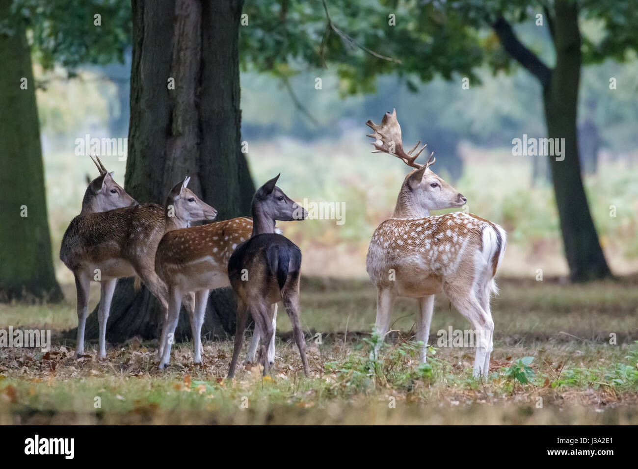 Group of four Fallow deer (Dama dama) startled by something on the edge of woodland copse - Stock Image