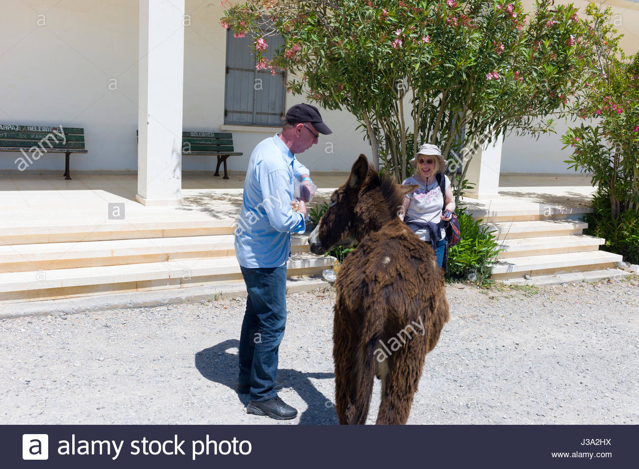 A tourist feeding carrots to one of the wild donkeys, Equus africanus asinus, on the Karpas Peninsula, northern Stock Photo