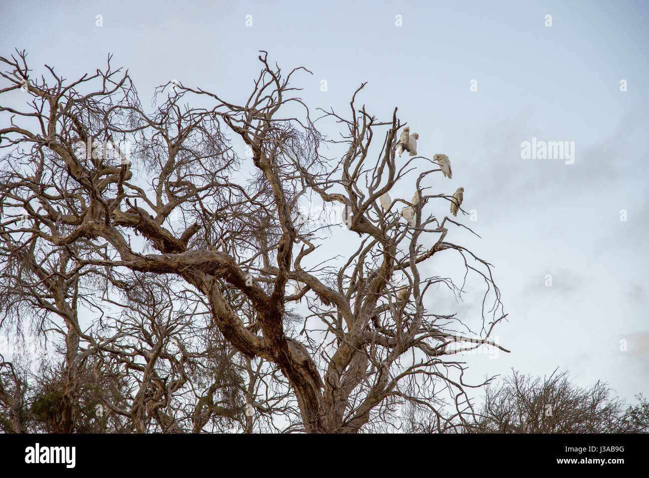 Little corella bird wildlife in the tree tops of the wetland melaleuca trees at Manning Park nature reserve in Hamilton Stock Photo