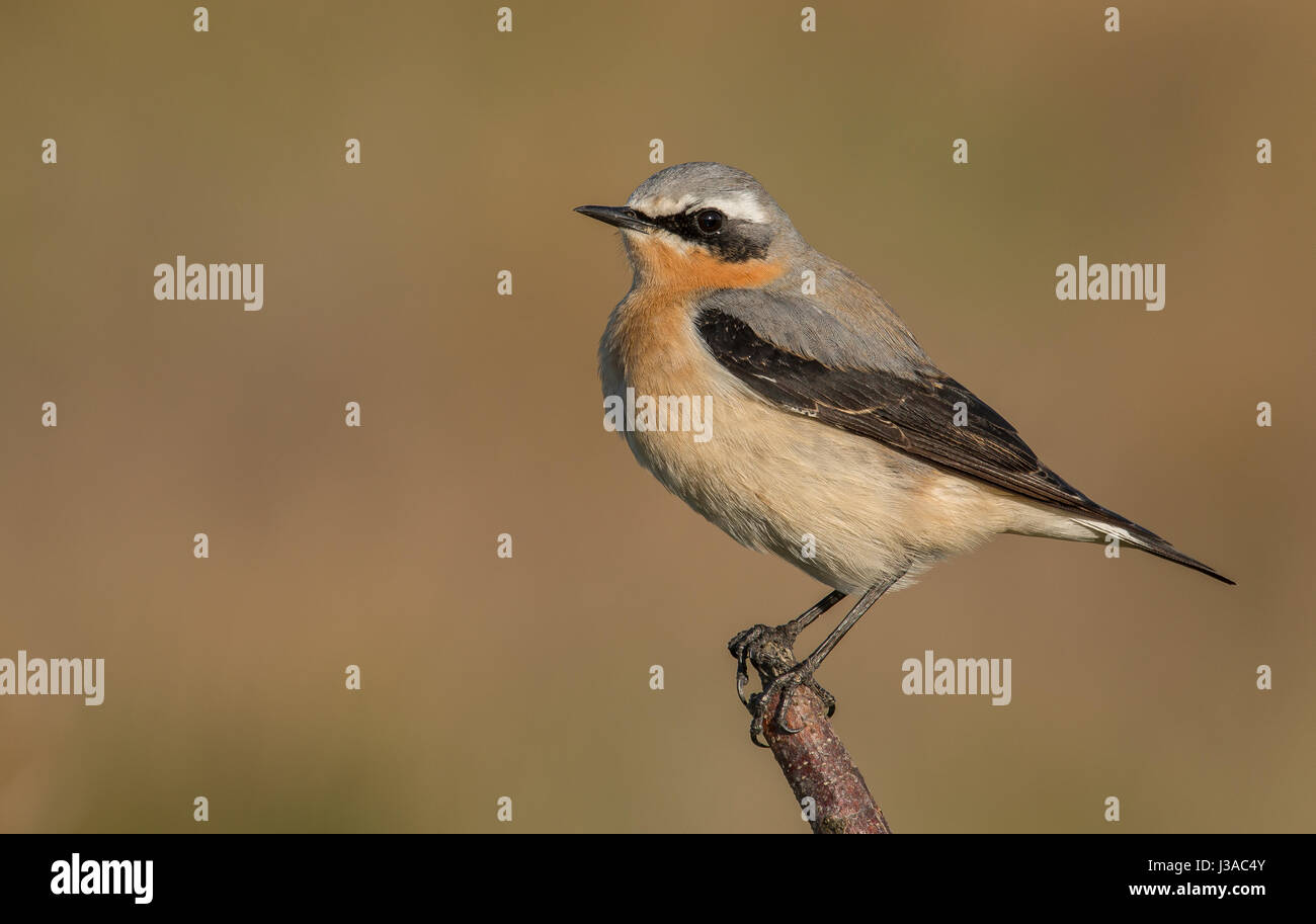 Northern Wheatear - Stock Image