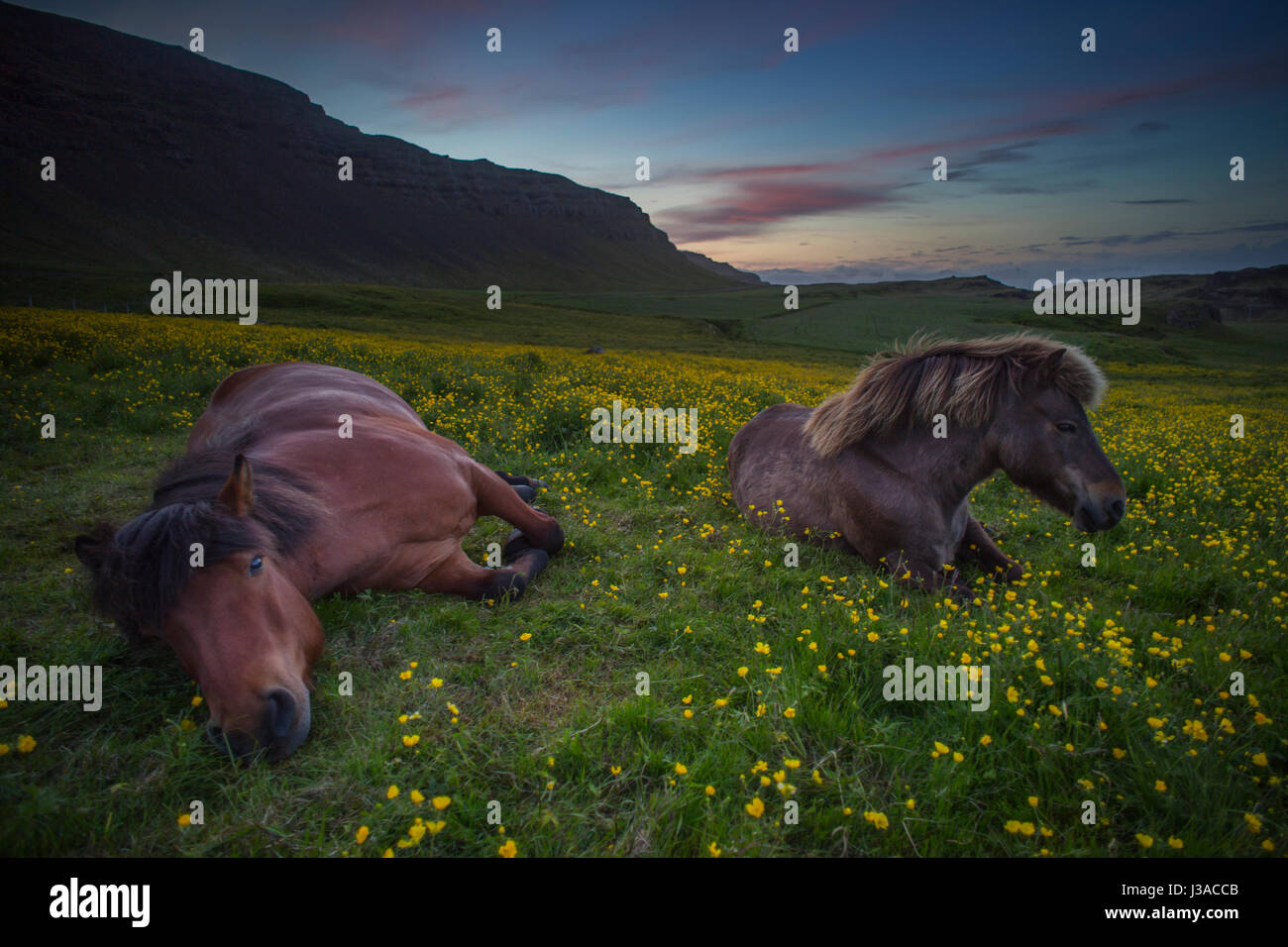 Two icelandic horses relaxing in a field of flowers - Stock Image