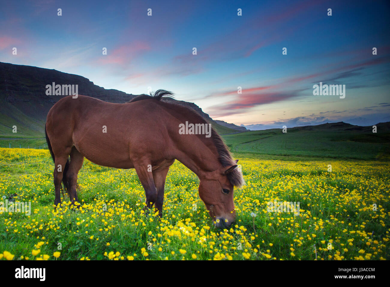 Icelandic horse grazing in a field of flowers - Stock Image