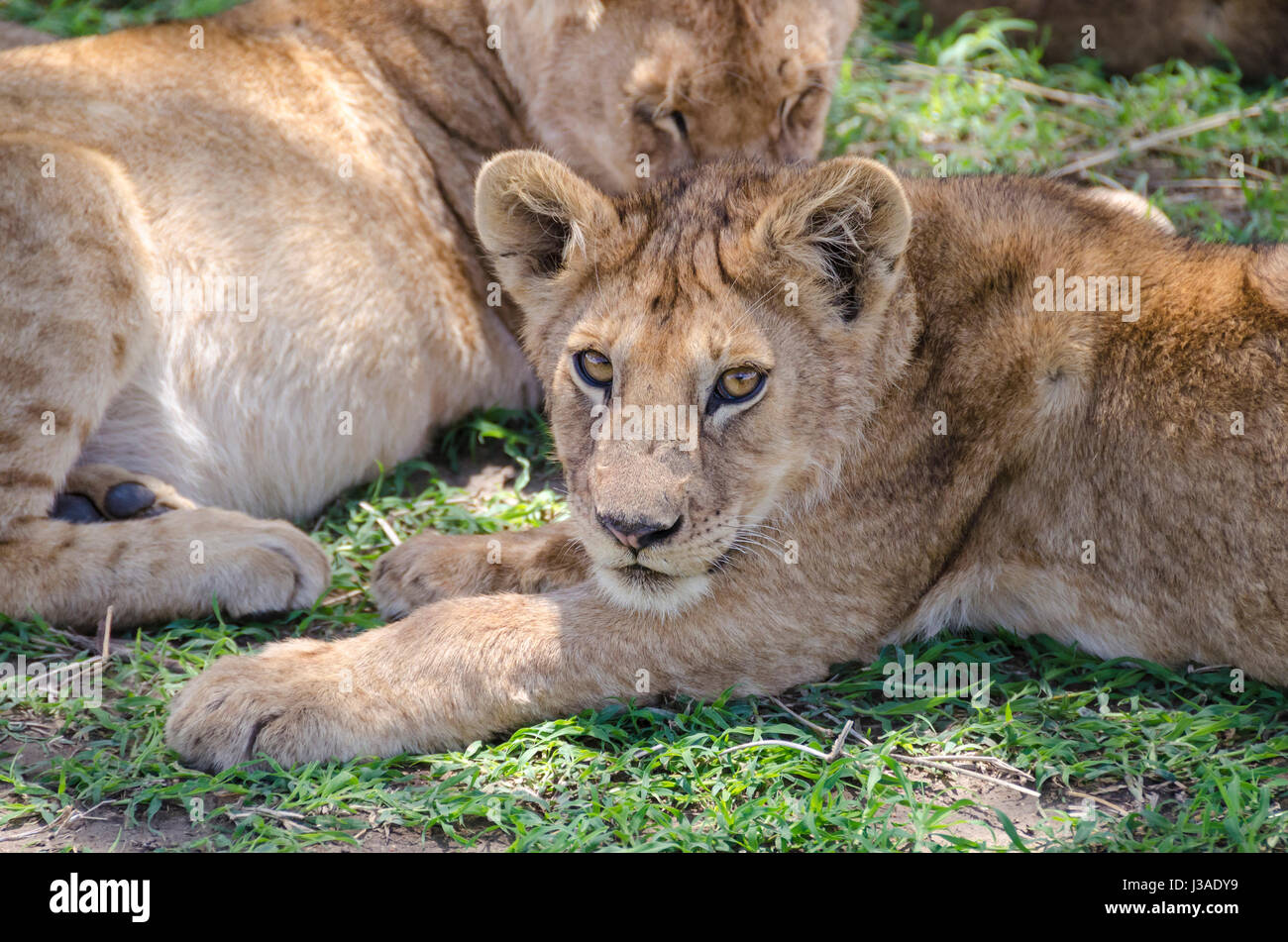 Jung lion lying on the grass in Serengeti, Tansania - Stock Image
