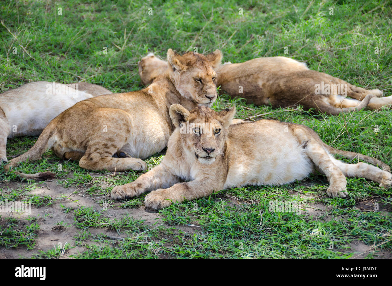 Jung lions sleeping on the grass in Ngorongoro, Tansania - Stock Image