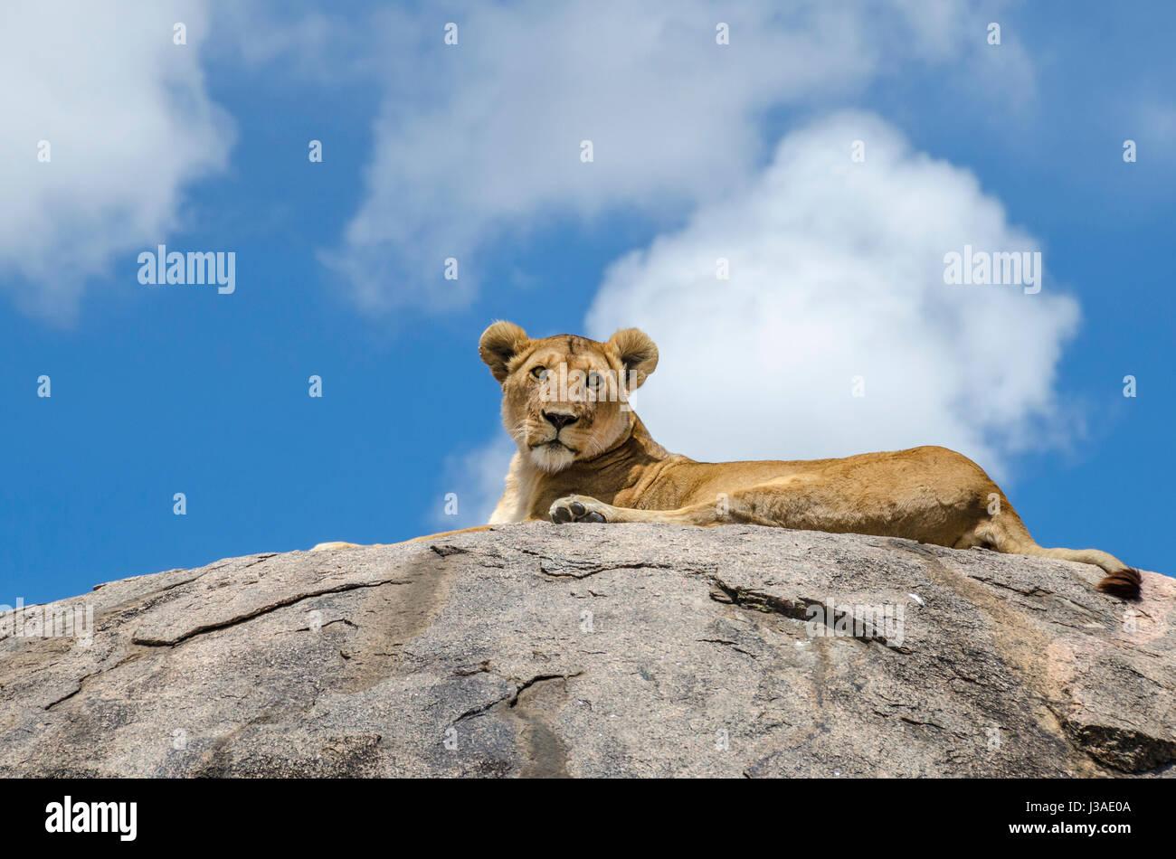 Female lion resting on the rock in Serengeti, Tansania - Stock Image
