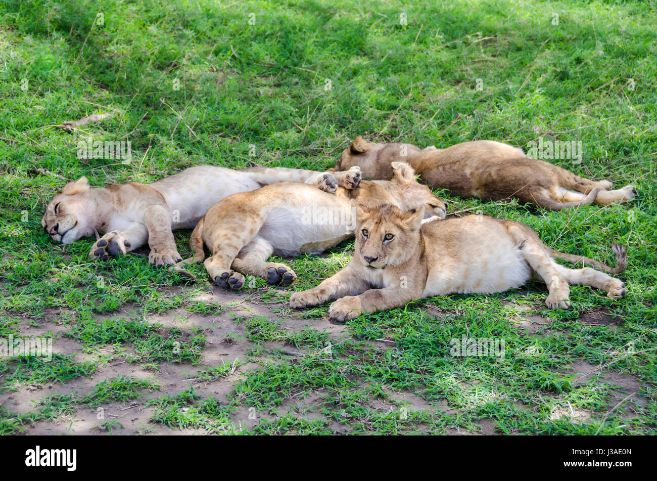Jung lions sleeping on the grass in Serengeti, Tansania - Stock Image