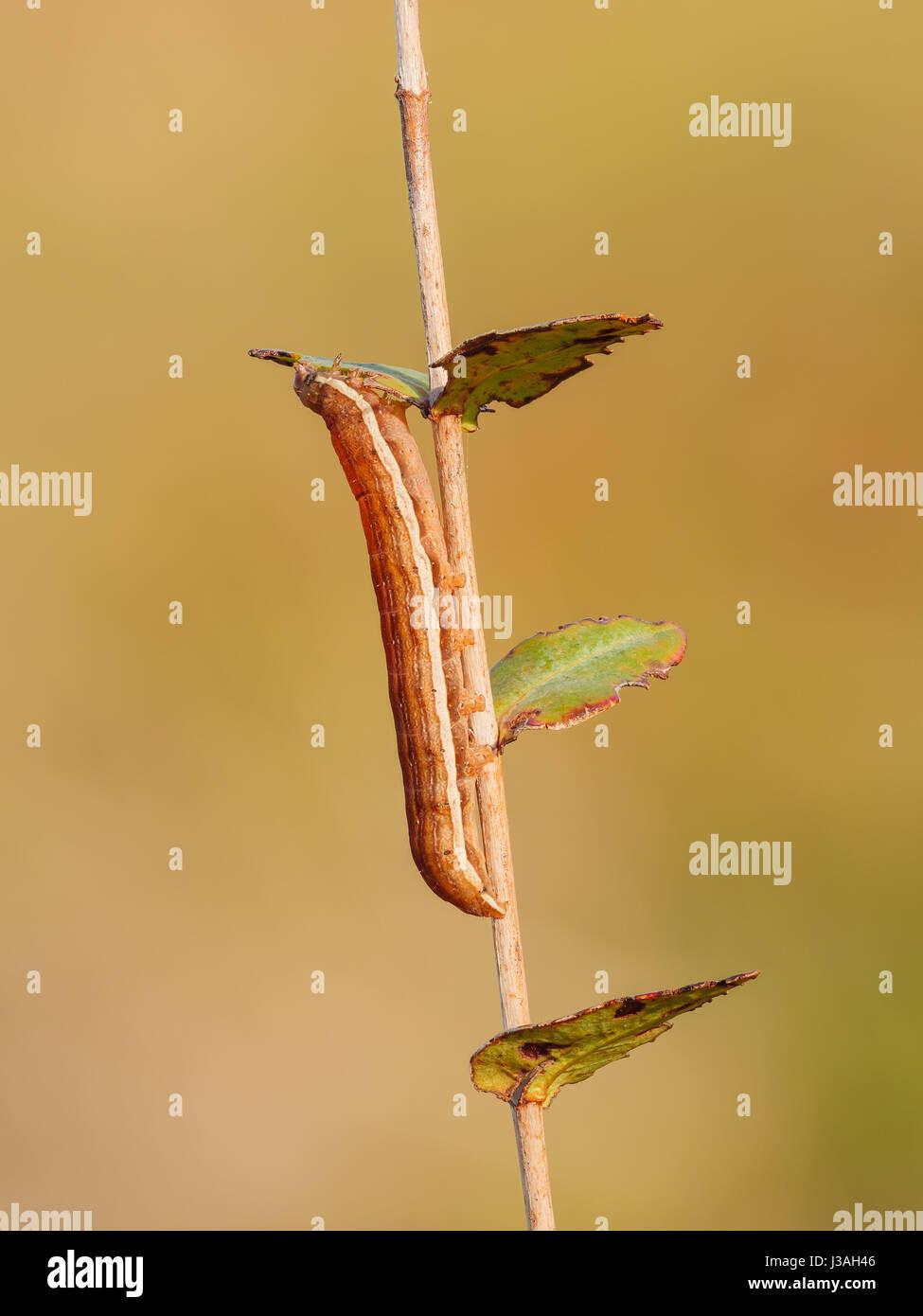 A Gray Half-Spot (Nedra ramosula) caterpillar (larva) feeding on St. Johnswort. - Stock Image