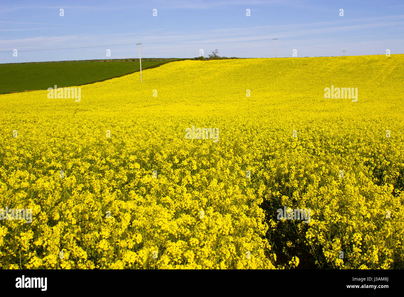 A Field Of Rapeseed Oi An Irish Farm With Its Bright Yellow Flower
