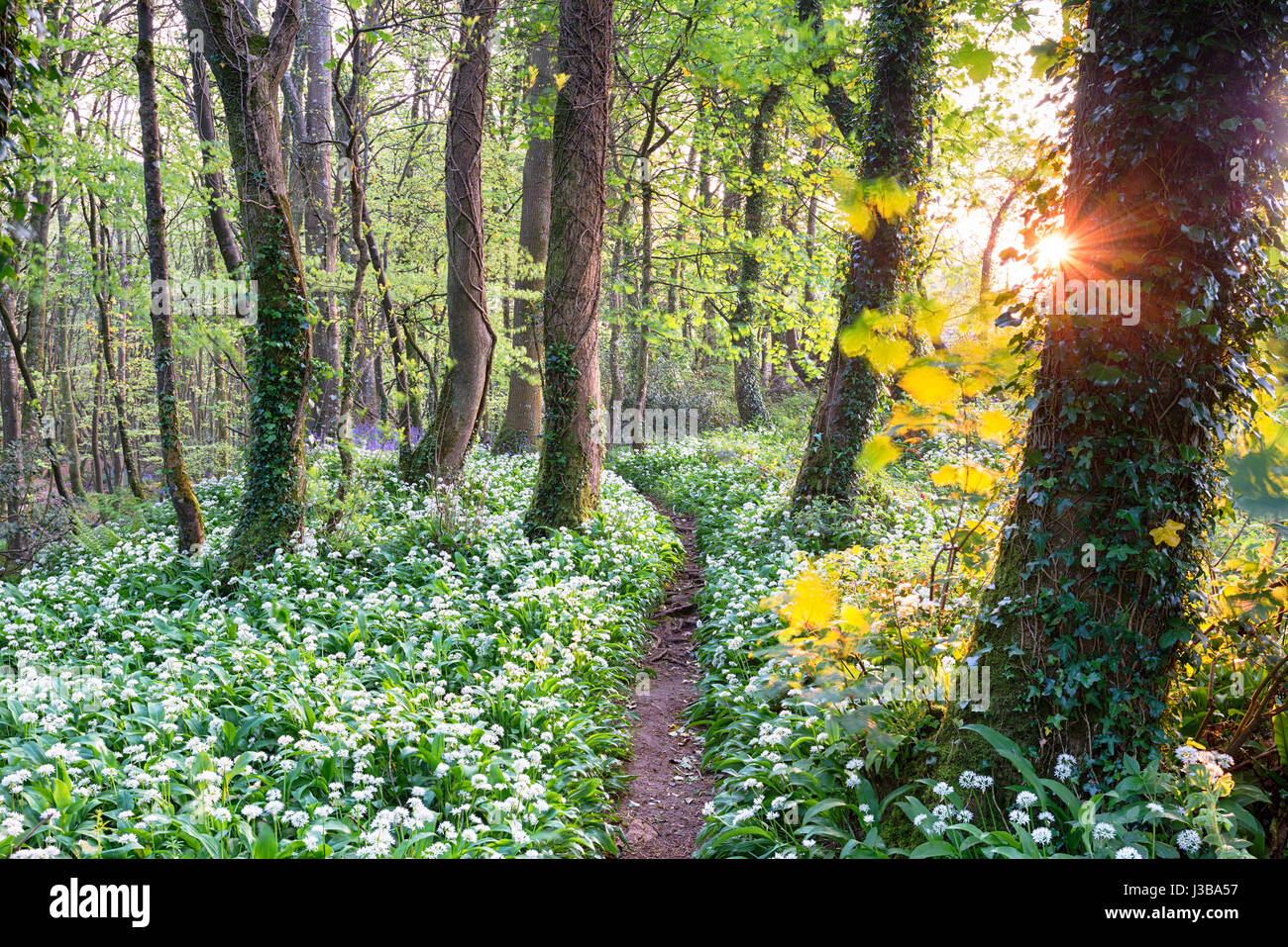 A path through wild garlic in woods near Camborne in Cornwall - Stock Image