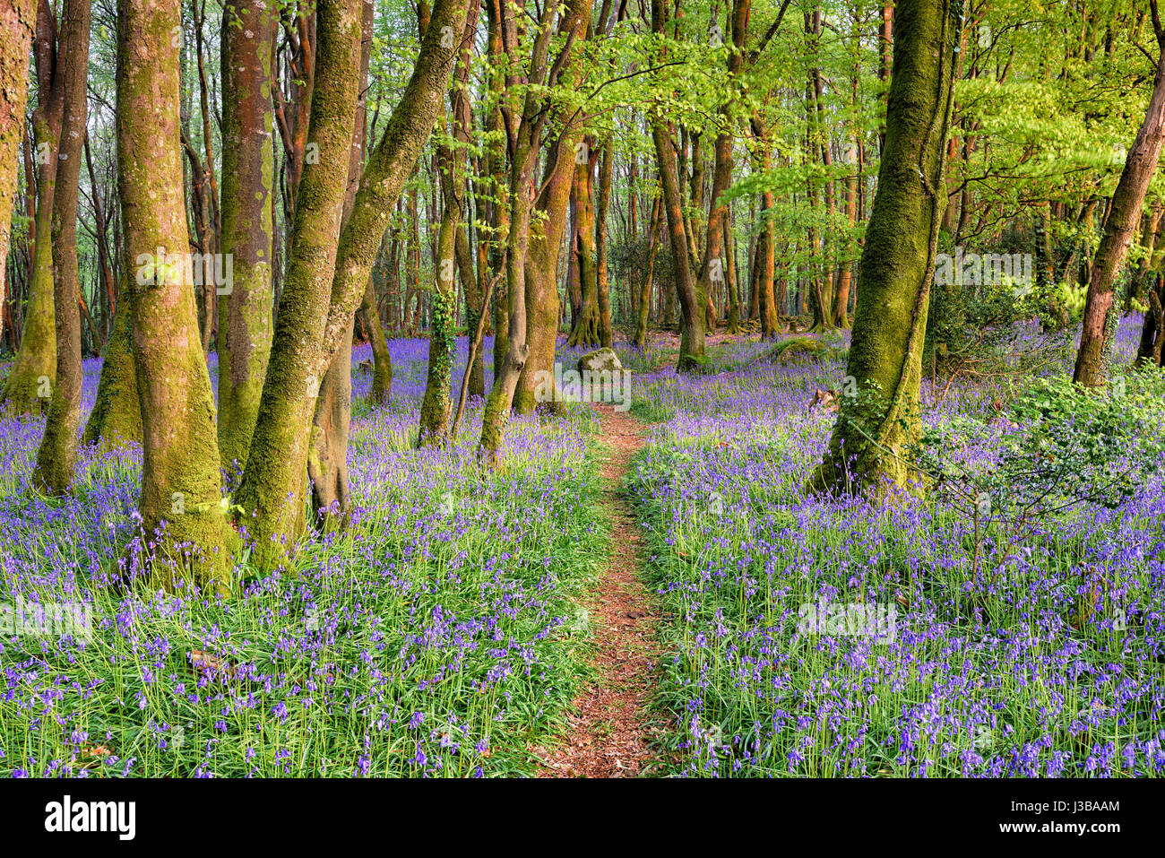 A path through bluebell woods near Camborne in the Cornwall countryside - Stock Image