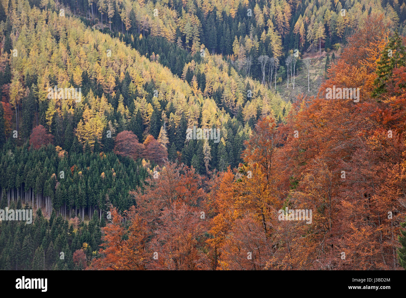 Autumnal forest of beech trees (red), spruces (green) and larches (yellow). Steiermark, Austria. - Stock Image