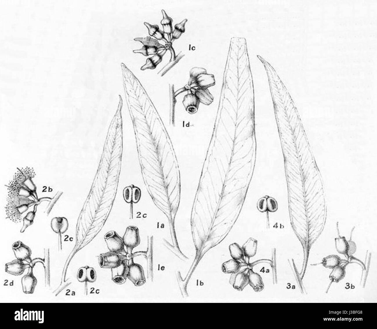 Eucalyptus flocktoniae00 - Stock Image