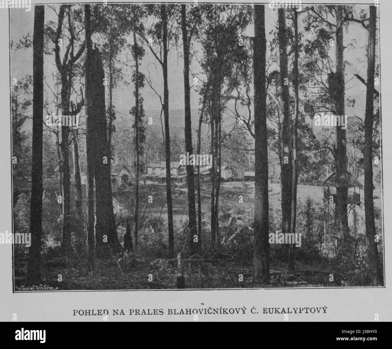 Eucalyptus Forest 1901 Korensky Stock Photo