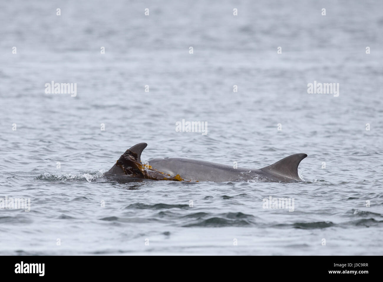 Bottlenose Dolphin with youngster & seaweed - Stock Image