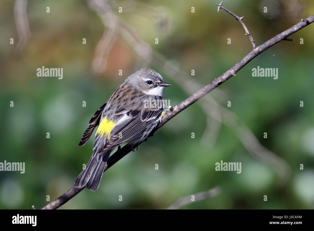 A Yellow-rumped Warbler (Setophaga coronata), perched on a twig at Camp Chowenwaw Park in Green Cove Springs, Florida. Stock Photo