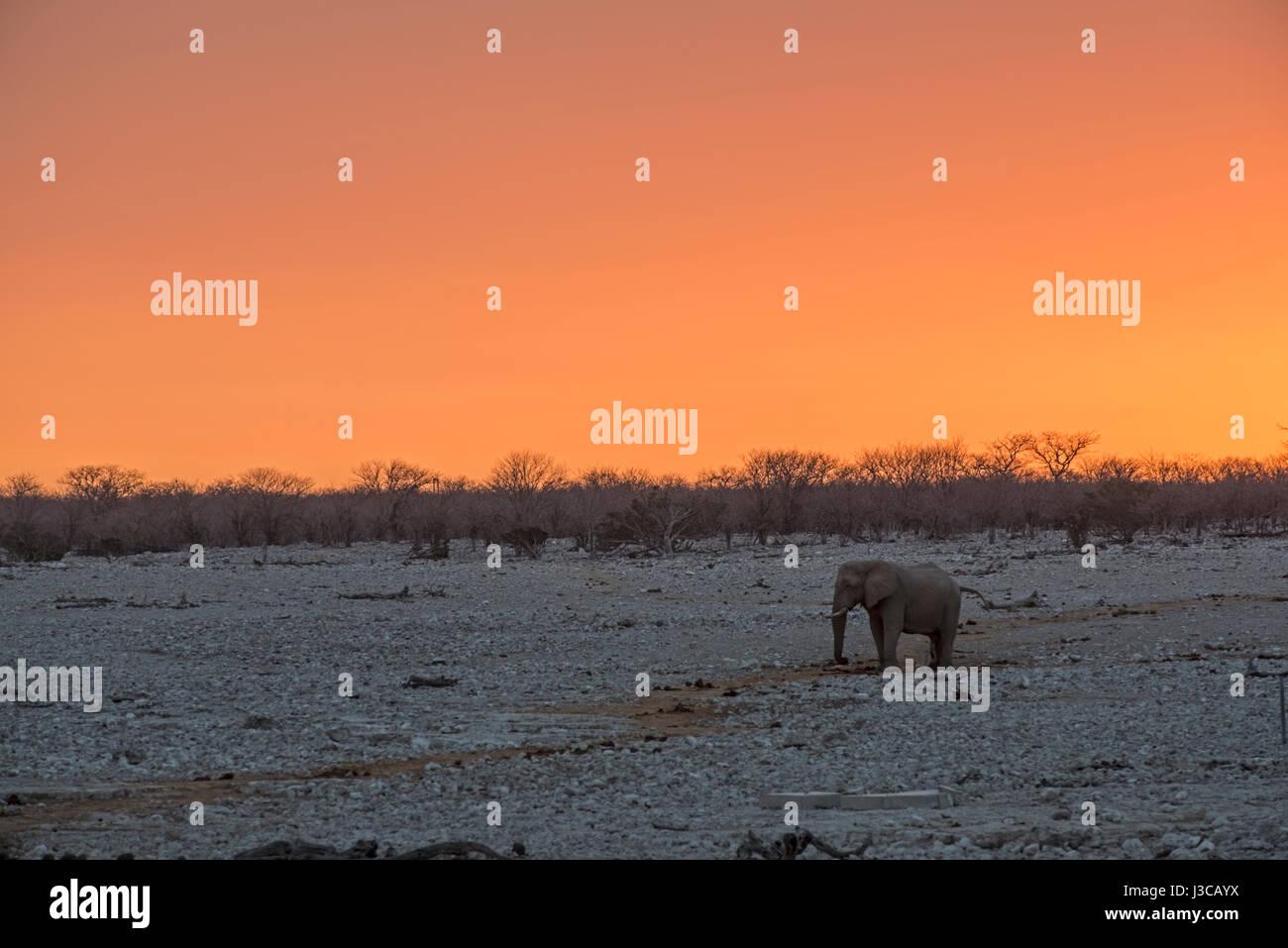 Elephant at sunset: Loxodonta africana. Etosha, Namibia. - Stock Image