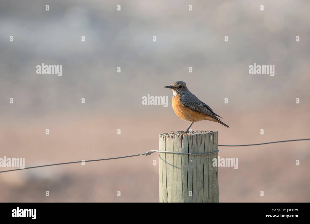 Short-Toed Rock-Thrush: Monticola brevipes. Namibia. - Stock Image