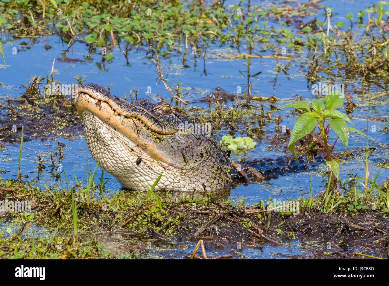 Alligator at Circle B Bar Reserve in Polk County in Lakeland Florida - Stock Image