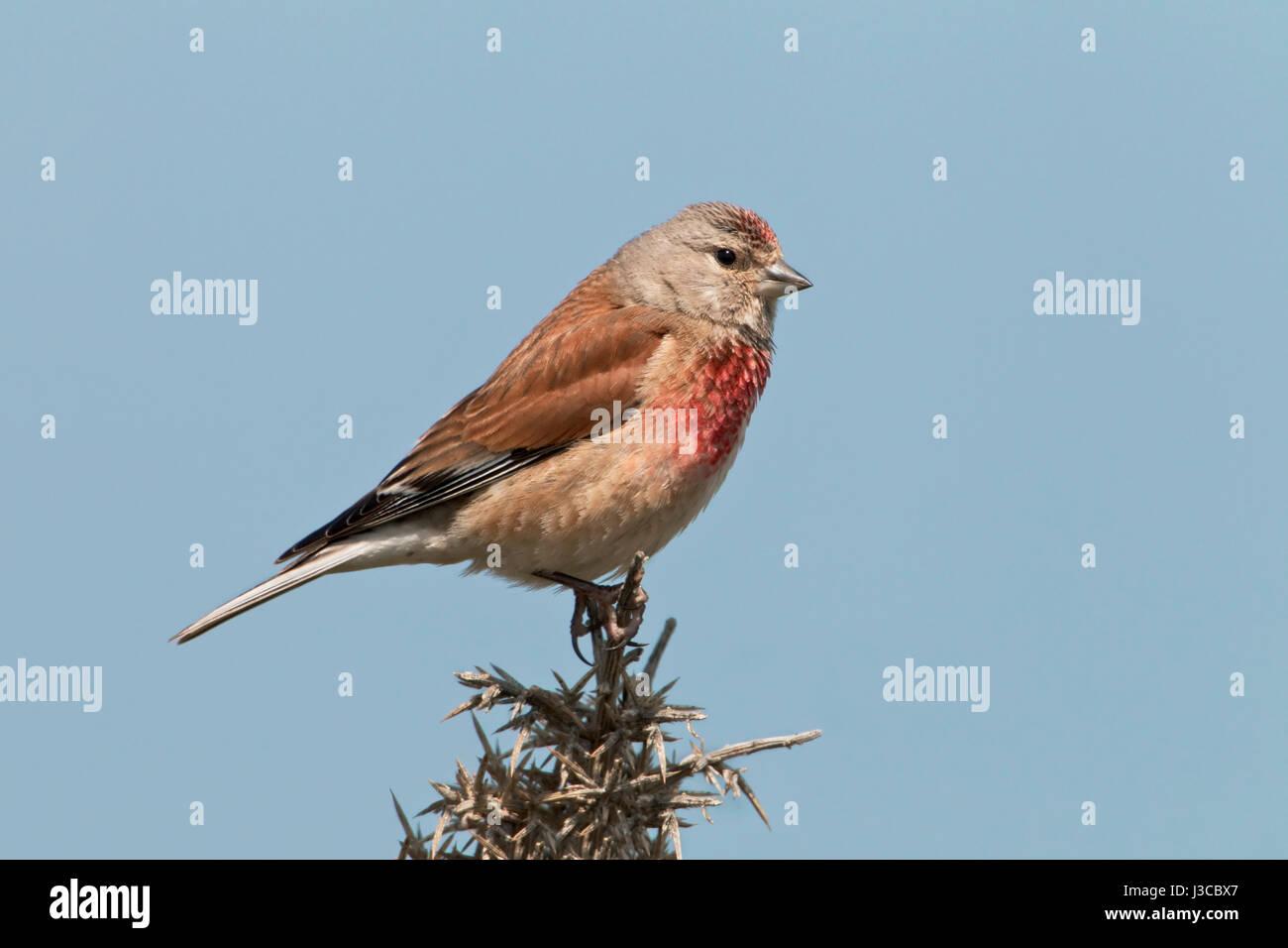 Linnet - Carduelis cannabina - male - Stock Image