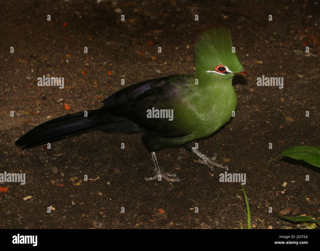 West African Green or Guinea Turaco (Tauraco persa). Found in West and Central Africa - Senegal, Congo to northern - Stock Image
