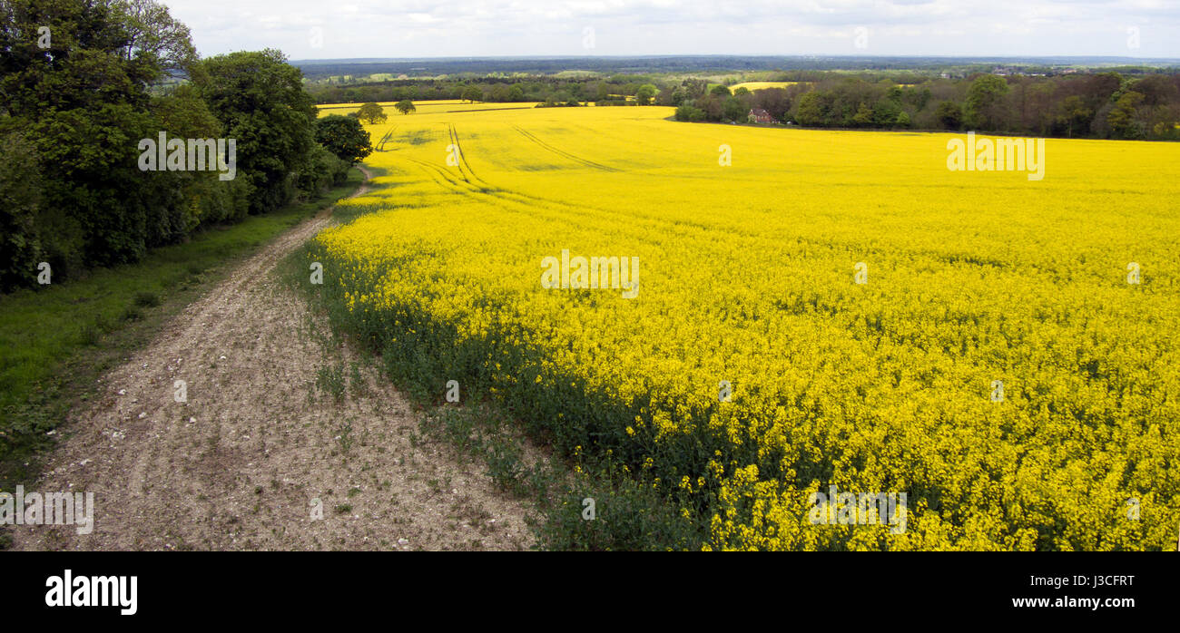 Yellow Fields of Great Britain, Rapeseed, Eco Fuel, Biodiesel, vegetable oil, Brassica napus grows, Drone  photography, - Stock Image