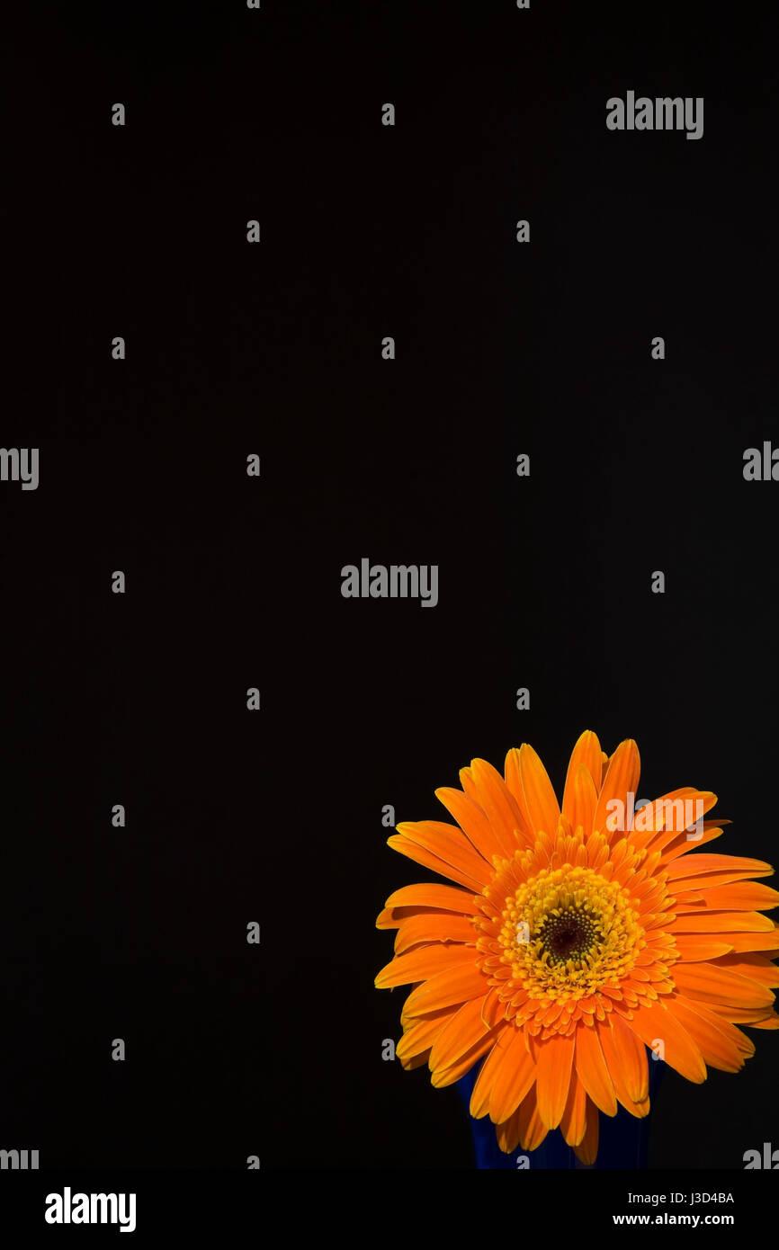 Orange Gerbera flower on a black background - Stock Image
