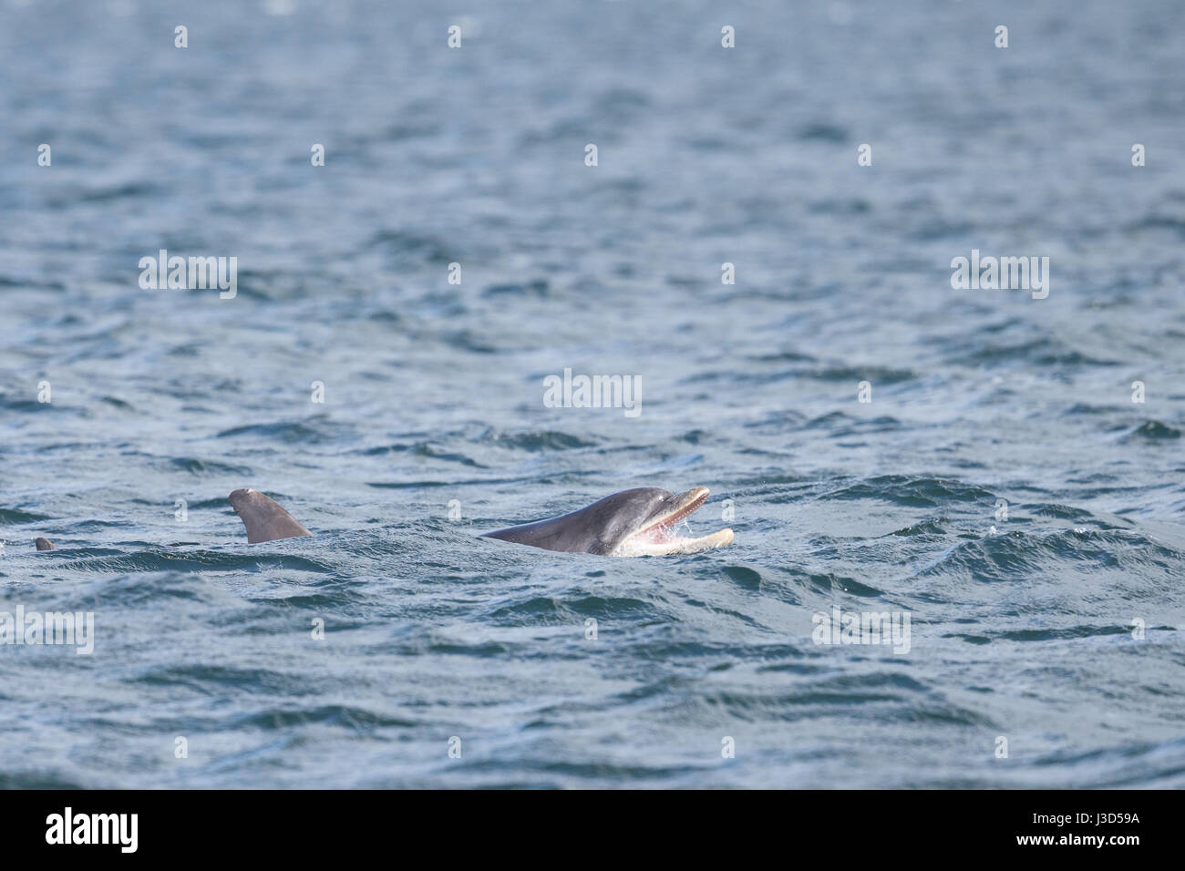 Bottlenose Dolphin in the Moray Firth - Stock Image