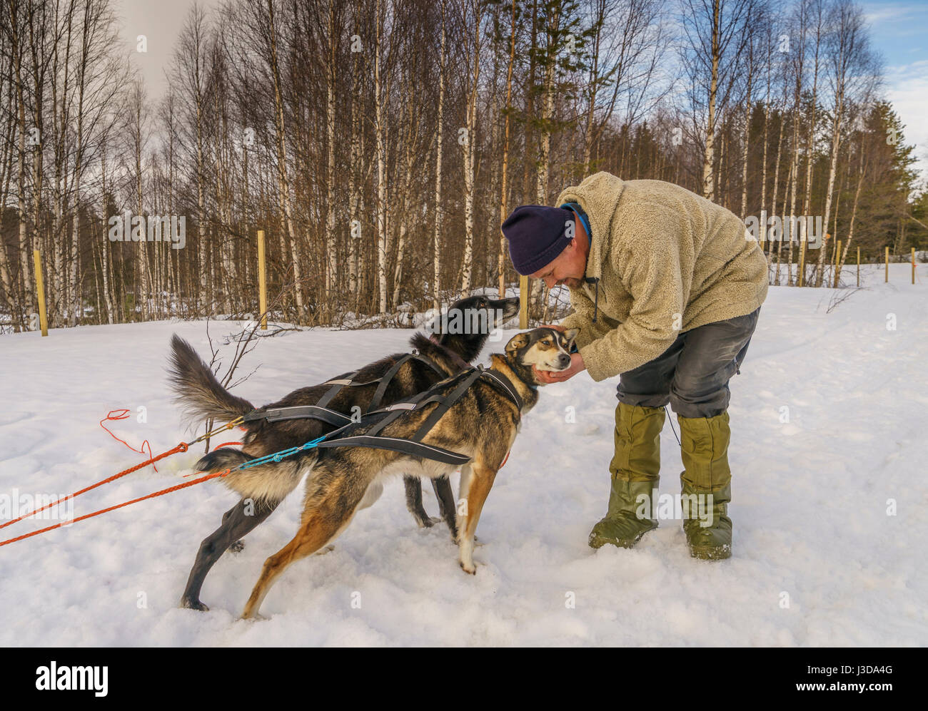 Man with huskies, sled dogs, Lapland, Finland - Stock Image