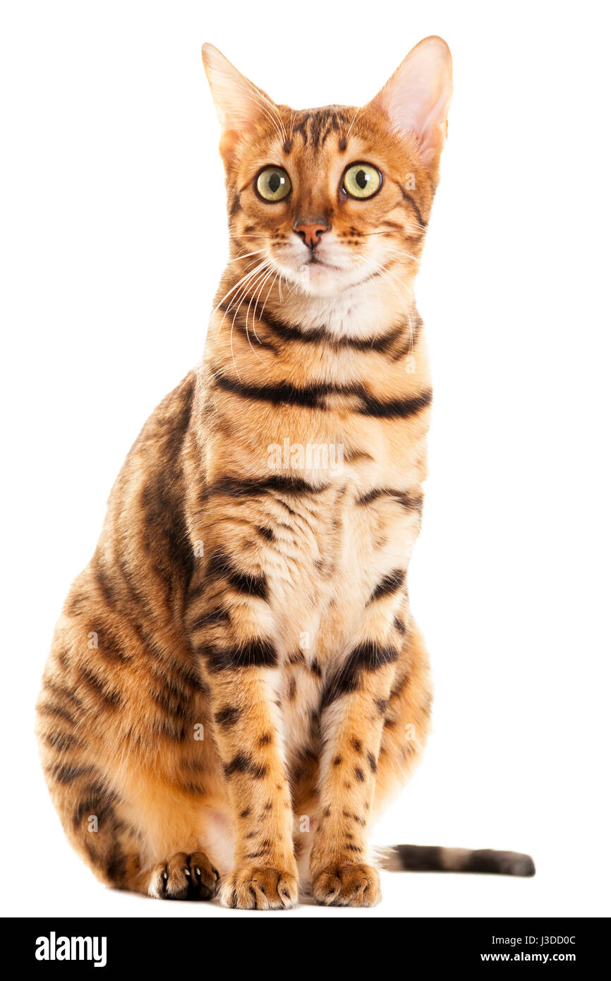 Beautiful adult female Bengal cat sitting down portrait isolated on white background  Model Release: No.  Property Stock Photo