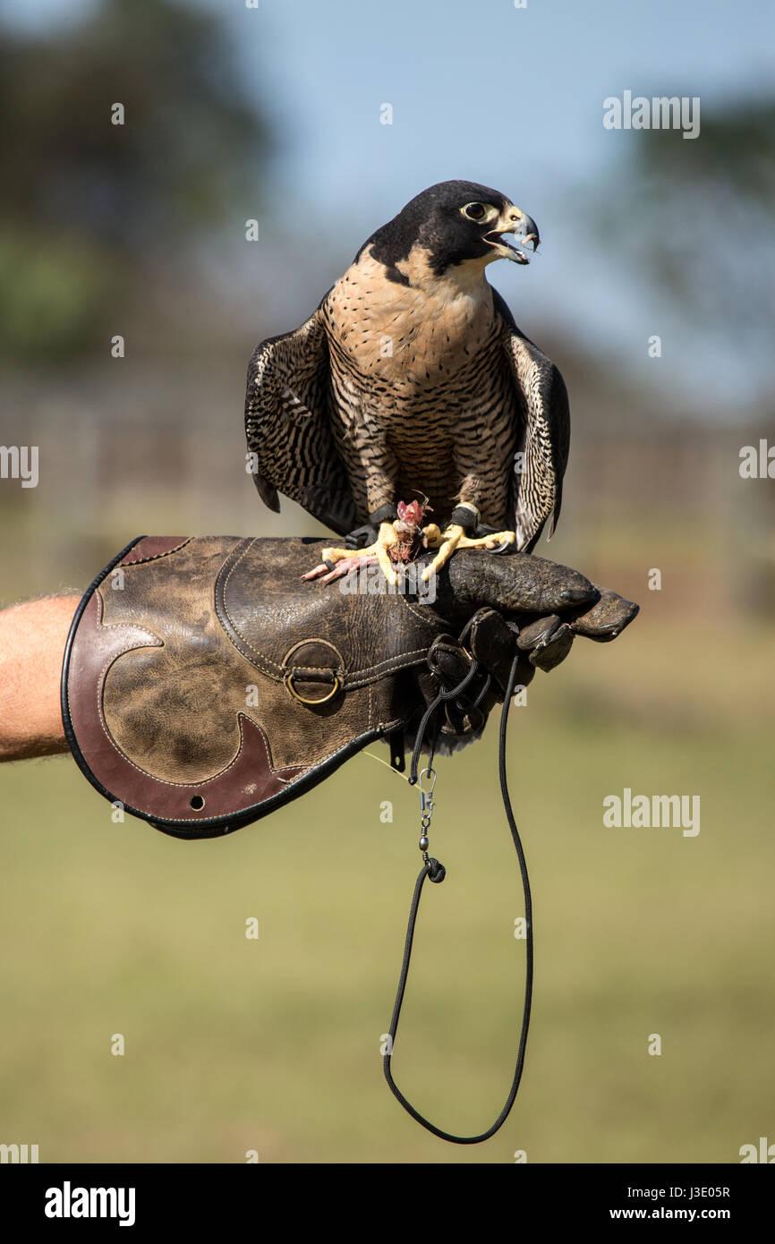 Falcon on a falconer's glove - Stock Image