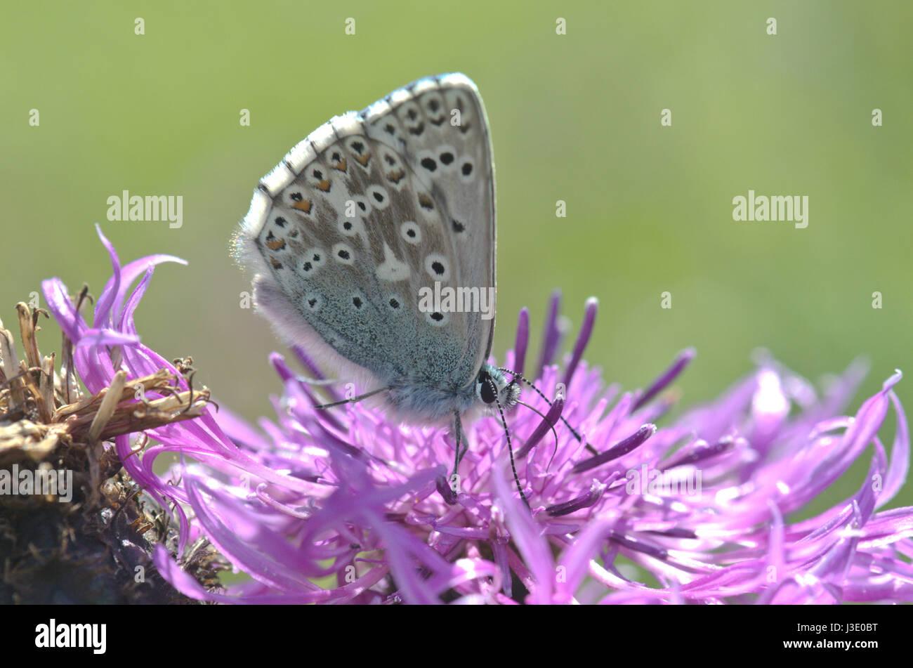 Chalk Hill Blue Nectaring - Stock Image