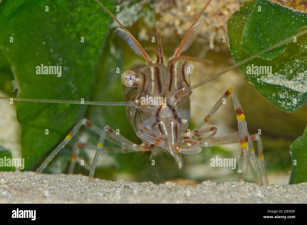 Common prawn (Palaemon serratus) cleaning pincer. Sussex, UK Stock Photo