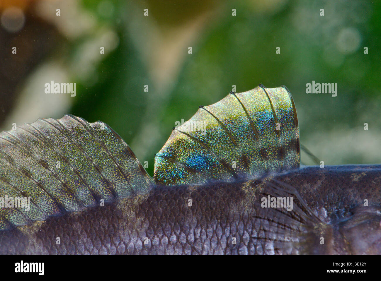 Male Rock goby (Gobius paganellus) Dorsal Fins in Breeding Colours - Stock Image