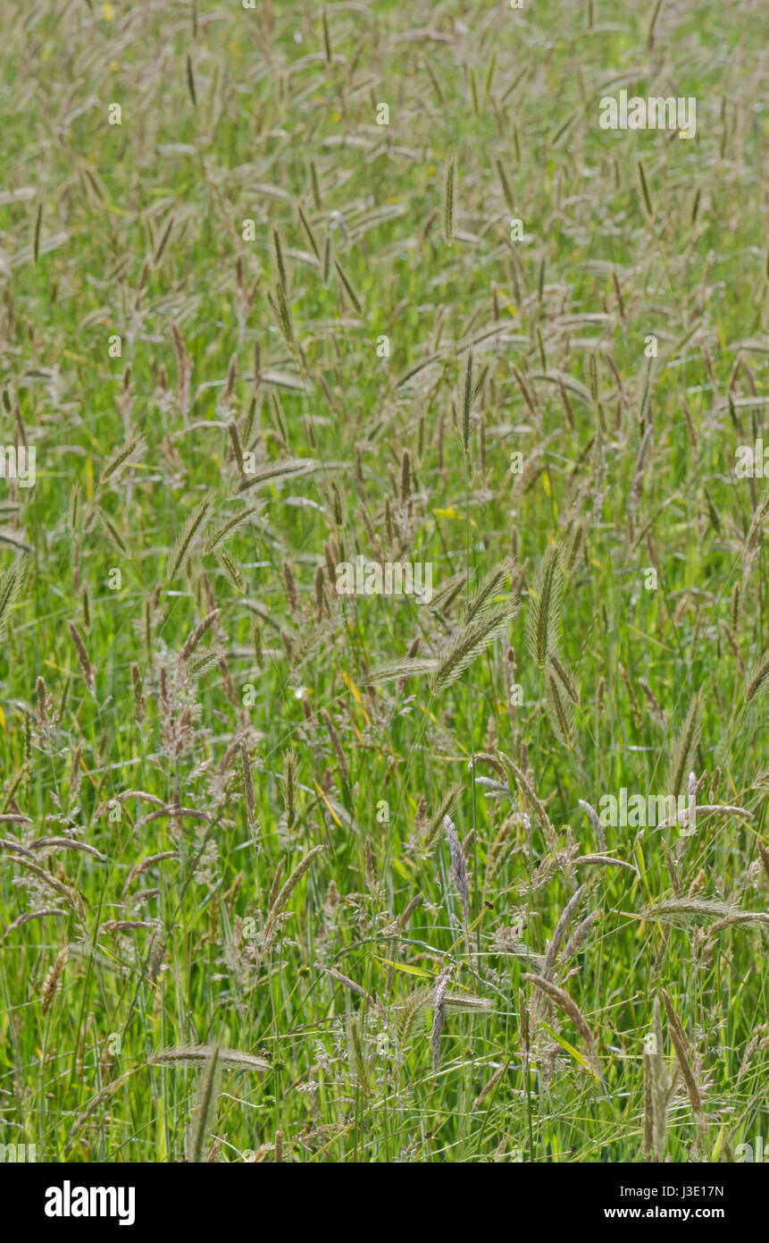 Summer Wild Grasses, Sussex, UK Grassland Seedheads - Stock Image