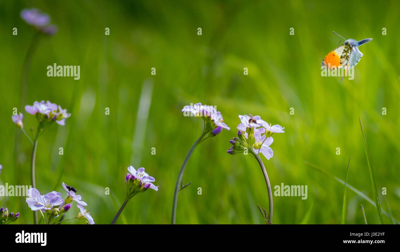 UK wildlife meadow: Male orange tip butterfly (anthocharis cardamines) flying over cuckooflowers with other insects - Stock Image