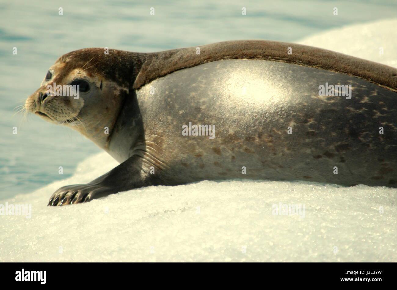 Grey seal (Halichoerus grypus), Jökulsárlón lake, Iceland, Europe - Stock Image