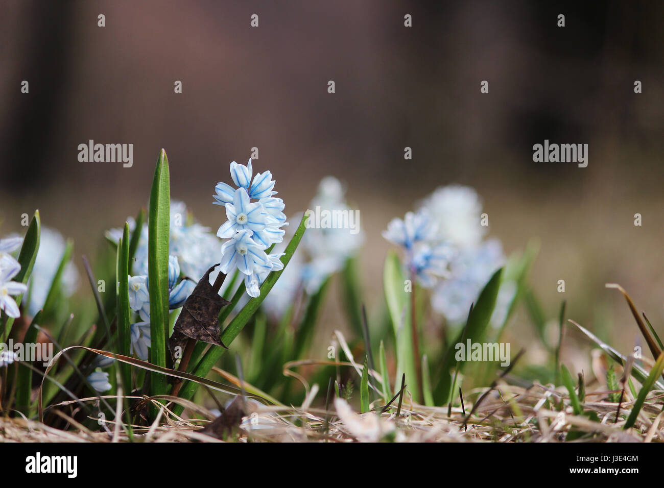 small white spring flowers close up Puschkinia scilloides  Stock Photo