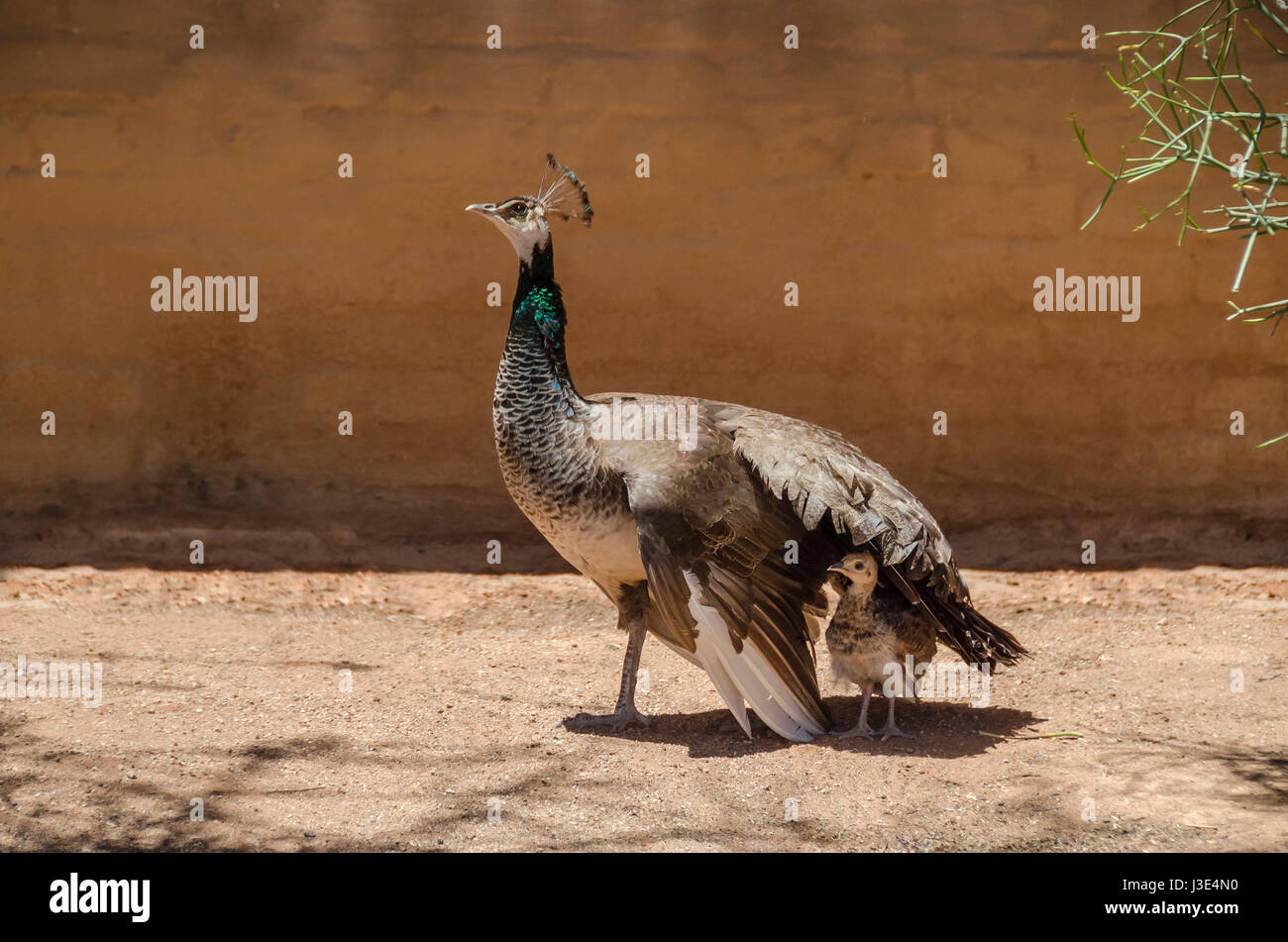 Peafowl mother protects its chick from the sun, providing shadow with its wing in Solitair, Namibia. - Stock Image