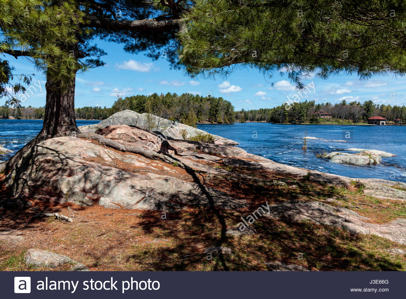 Pine tree growing on a rock beside Stoney Lake in Peterborough County in cottage country at Burleigh Falls in Ontario - Stock Image