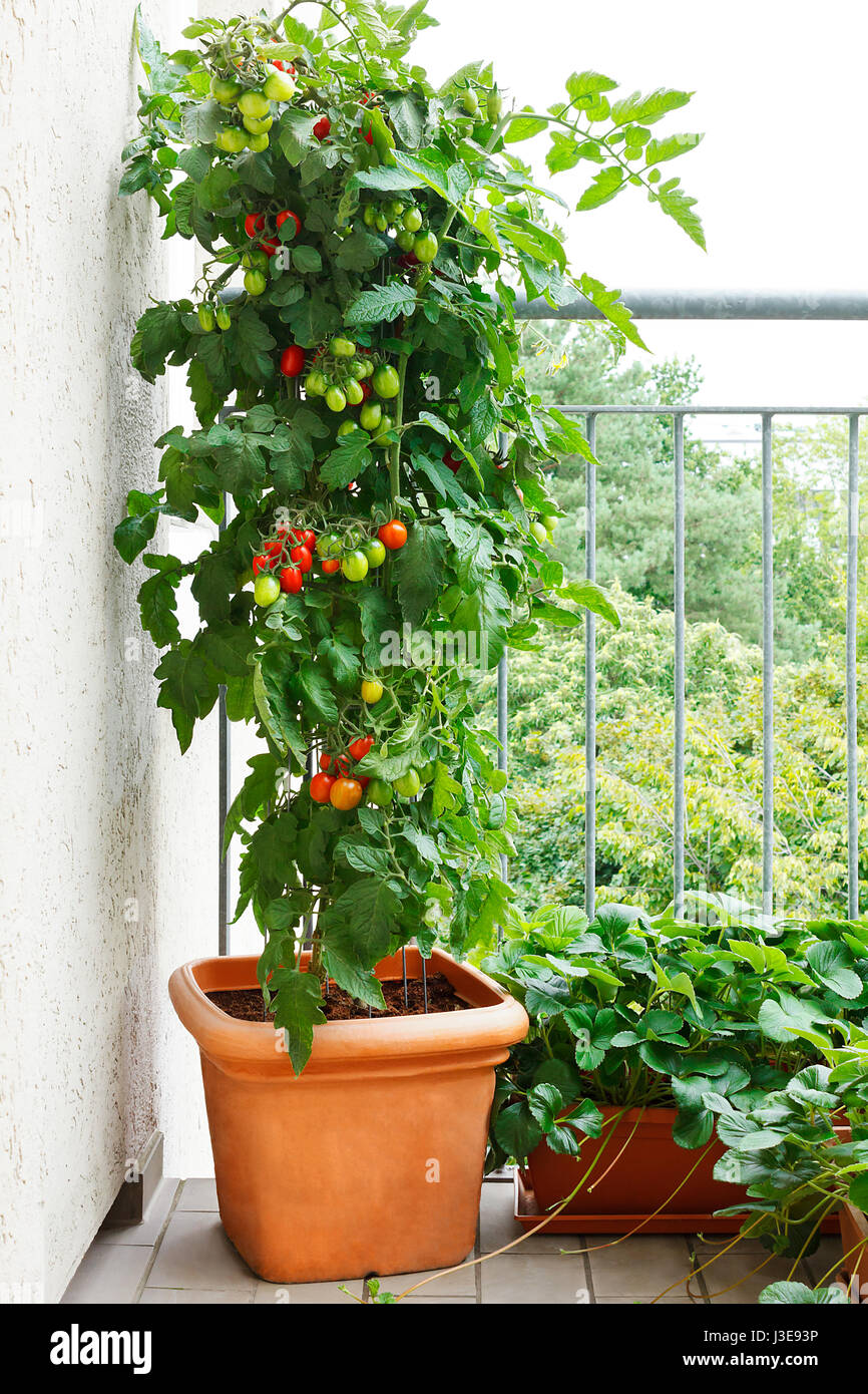 City Vegetable Gardening Stock Photos Go Back Gt Gallery For Tomato Seedling Diagram Plant With Green And Red Tomatoes In A Pot Strawberry Plants Offshoots On