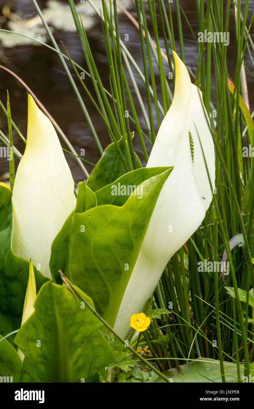 White spring spathes of the Asian skunk cabbage, Lysichiton camtschatcensis, by the water's edge - Stock Image