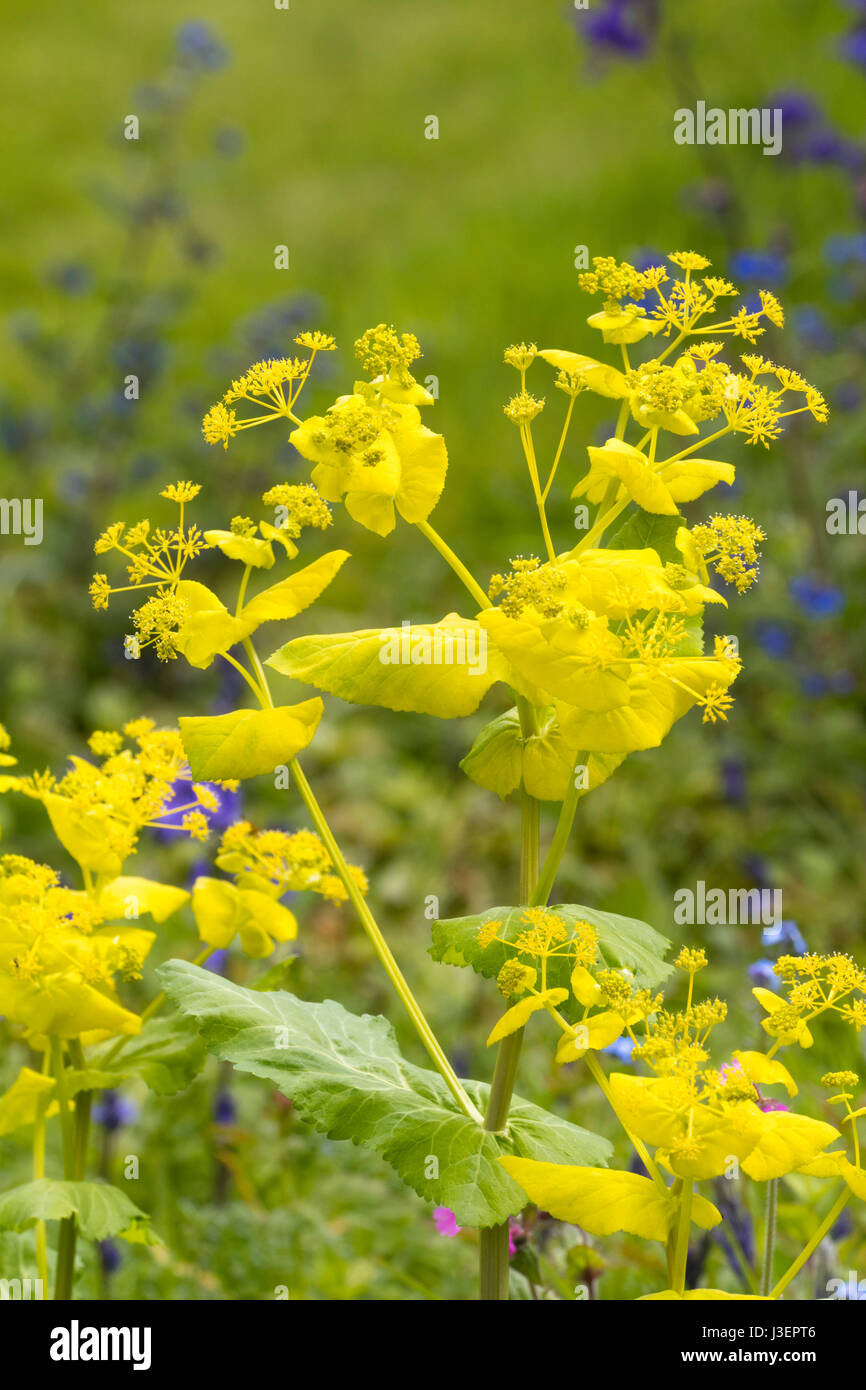 Yellow bracts and flowers of the hardy biennial, Smyrnium perfoliatum - Stock Image