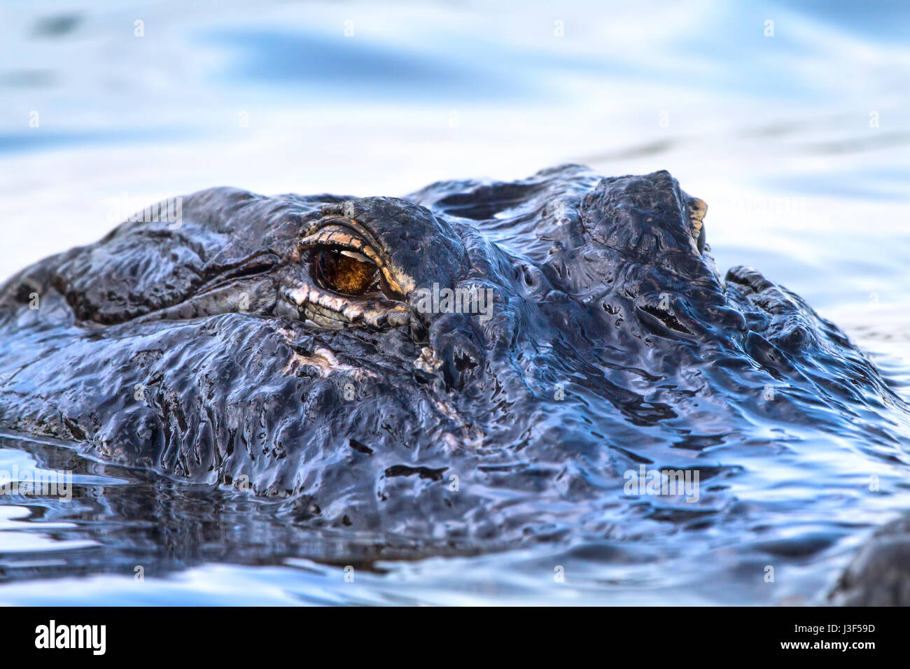 A 12 foot alligator patrols the waters in the Florida Everglades. This was a 12 footer and frequents the same area. - Stock Image