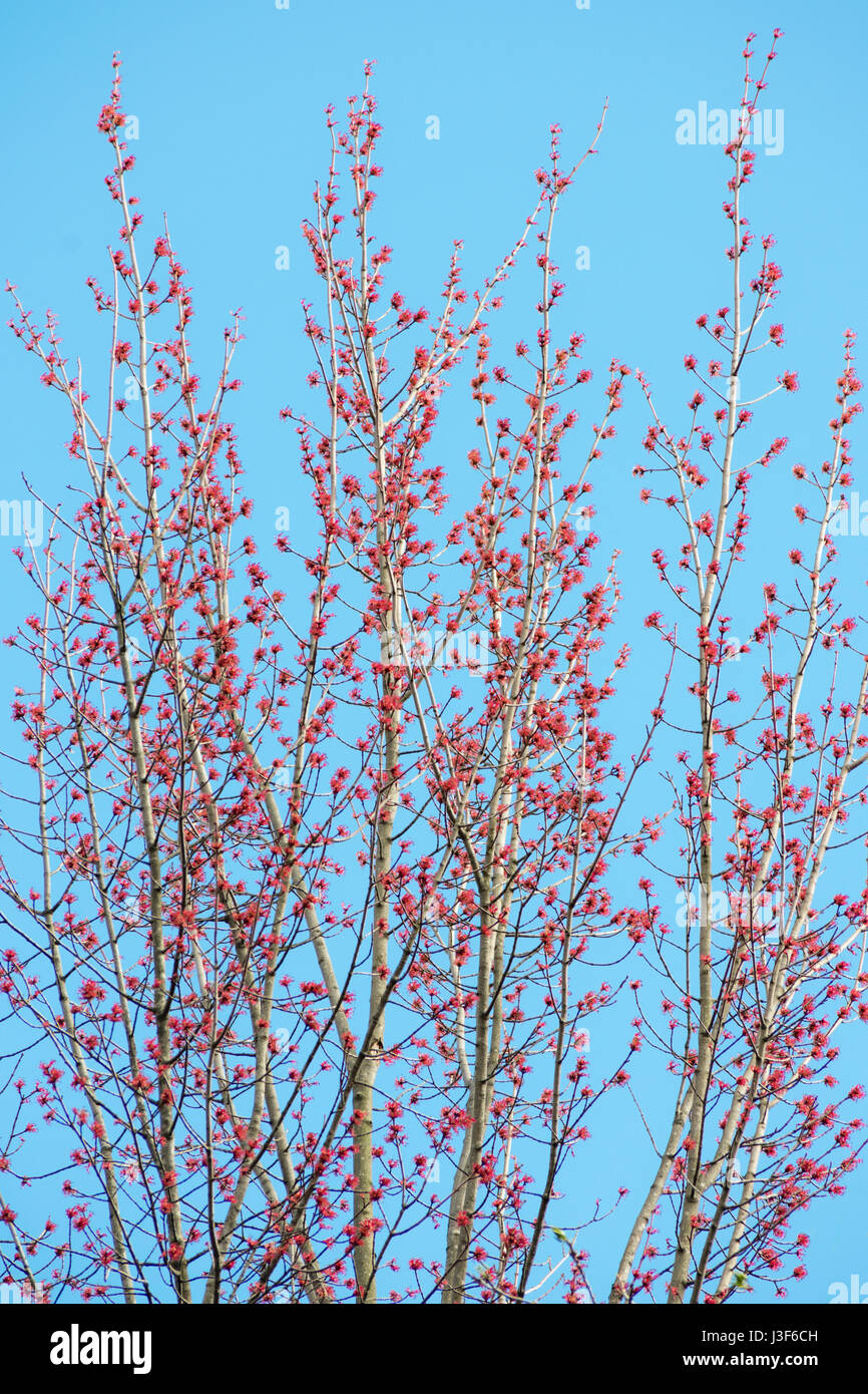 Maple trees with early buds in spring. - Stock Image