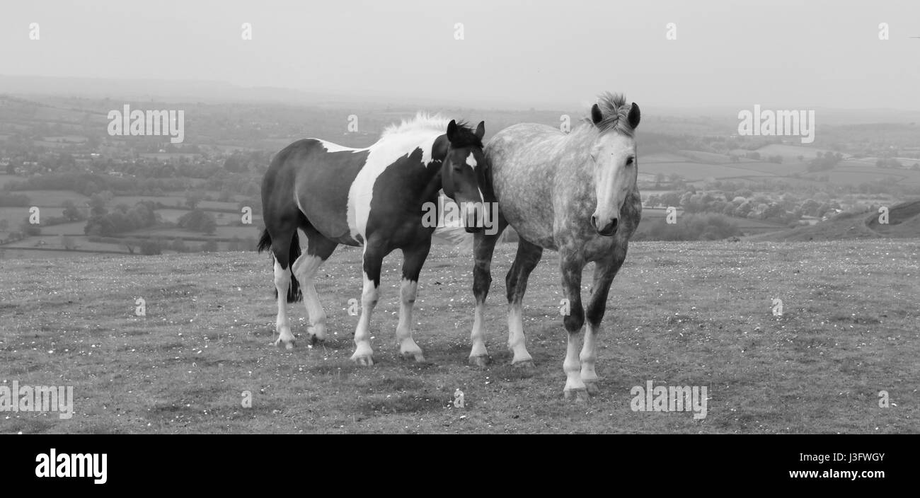 Horses in field - Black and White - Stock Image