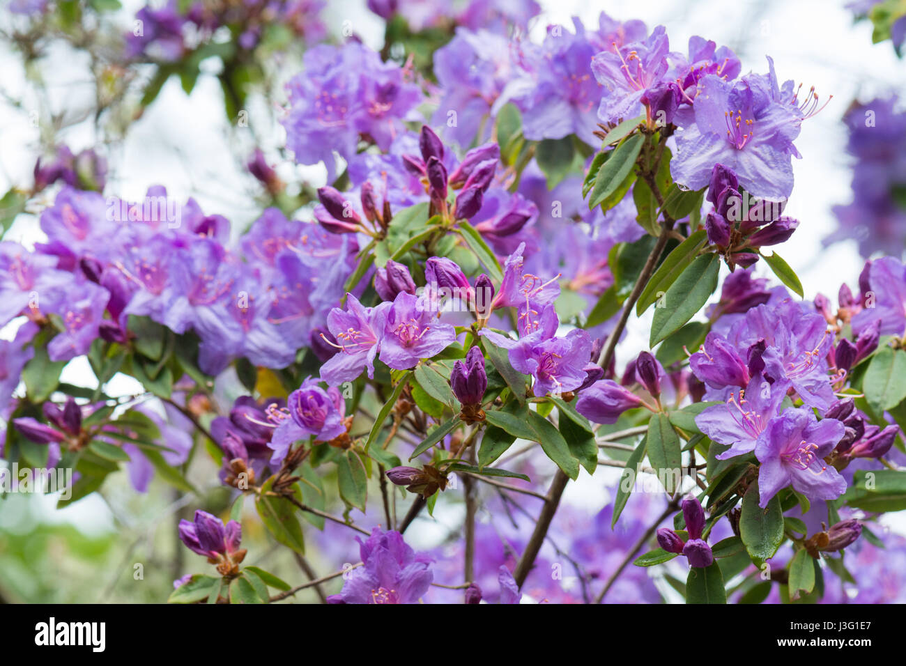 Rhododendron Augustinii - Stock Image