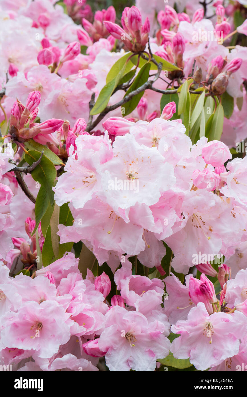 Rhododendron Loderi - Stock Image