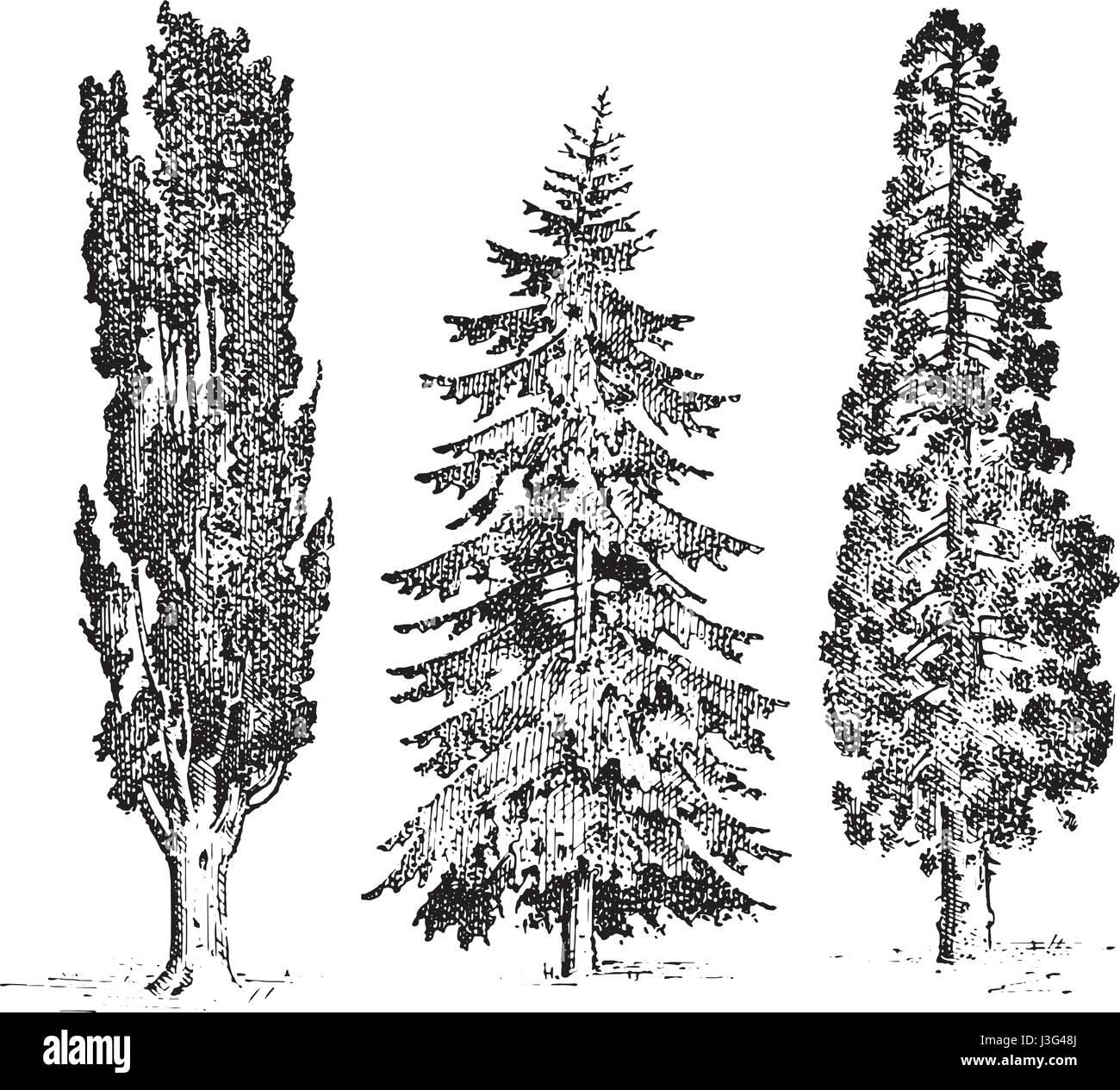 Set Of Hand Drawn Trees Italian Cypress And Stone Pine Pinea Stock
