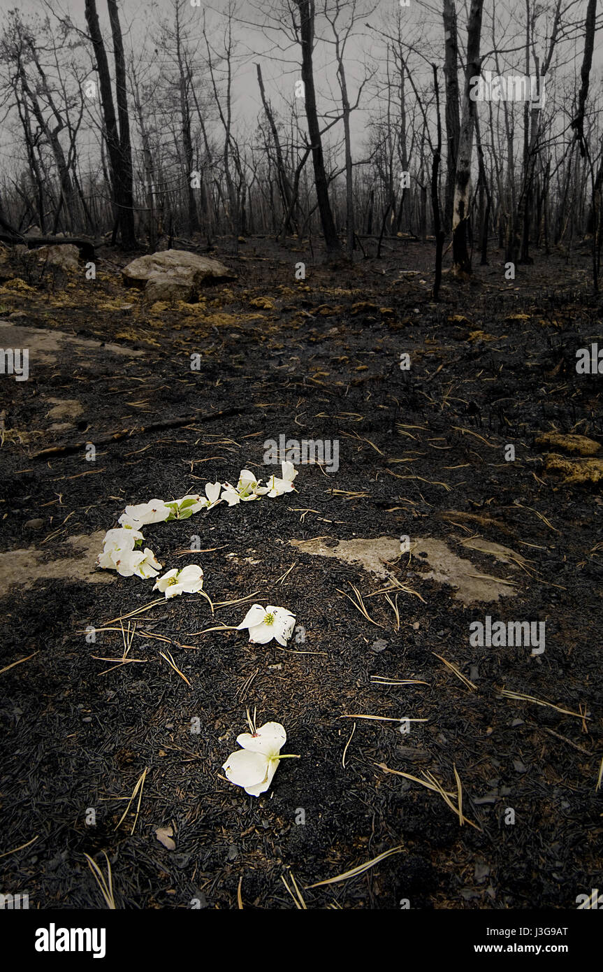 White mountain laurel flowers marking the site of a wild fire in Minnewaska State Park in New York - Stock Image